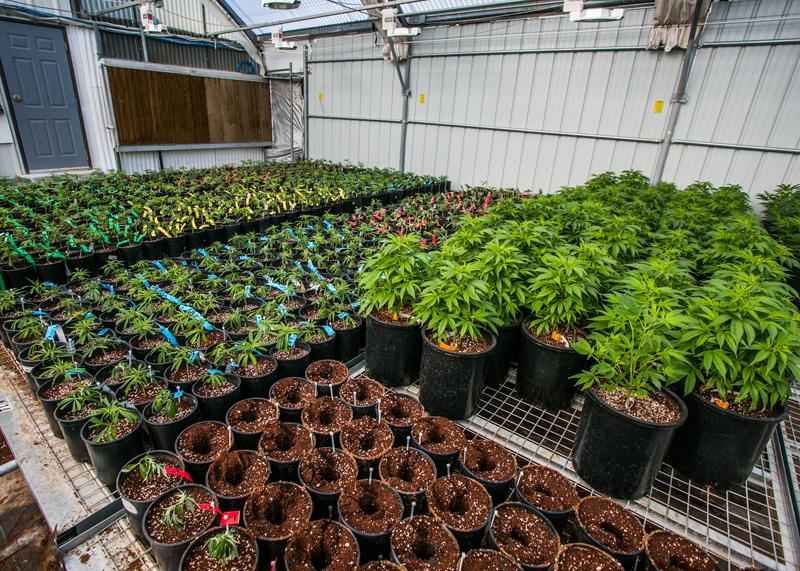 canopi-cannabis-grow-dispensary-las-vegas